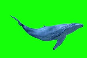 鲸鱼 鲲 带声音 超清 绿屏素材 关注公众号 特效手机特效图片