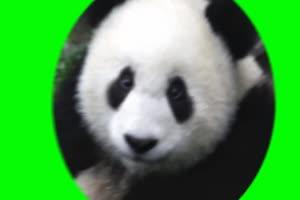 熊猫 绿屏抠像 免费素材 快手 火山 特效 ae抠像