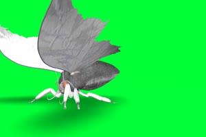 黑蛾子 黑蝴蝶 绿幕视频素材 特效抠像 绿布视频手机特效图片