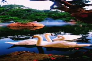 手机专用 天鹅 白鹅 池塘 美景视频素材36手机特效图片