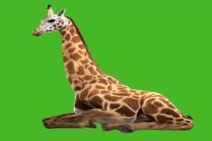 长颈鹿 睡觉觉 趴着 3 绿屏