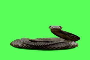 蛇 黑色眼睛蛇 绿幕视频 绿屏视频 绿幕素材 特效手机特效图片