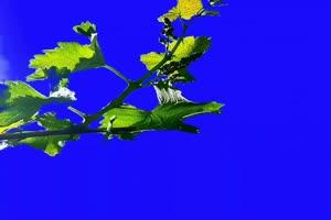 绿叶素材 古风 唯美风景 巧影绿幕素材手机特效图片