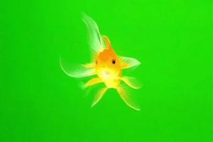 一条黄色金鱼 绿幕抠像 特效素材 @特效牛手机特效图片