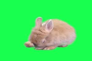 兔子 动物 Rabbit 绿屏抠像素材 巧影AE特效素材手机特效图片