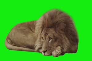 狮子睡觉觉