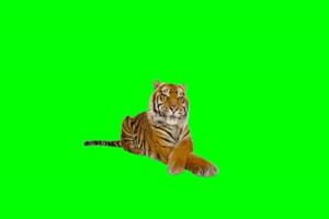 老虎 绿屏抠像素材 巧影
