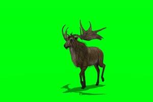慢走的羚羊 绿屏动物 特效