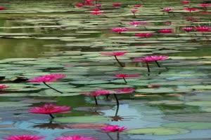 免费手机专用 唯美荷花 池塘美景视频素材88手机特效图片