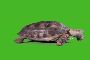 乌龟 绿屏抠像素材绿布和绿幕视频抠像素材