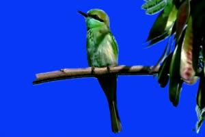捕鱼达人鸟~1绿幕视频素材 动物绿幕 剪映特效素手机特效图片