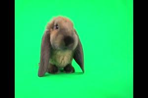 小白兔 兔子 动物 Rabbit 绿屏抠像素材 巧影AE特效手机特效图片