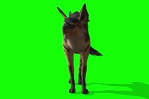 免费 鬣狗 绿幕视频 绿幕素材 剪映抠像素材手机特效图片