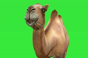 骆驼 动物绿幕视频素材下载 @特效牛绿幕素材网手机特效图片