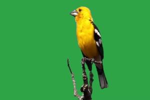 黄色小鸟绿幕视频素材 动物绿幕 剪映特效素材手机特效图片