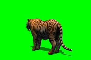 老虎_1绿屏素材 绿幕抠像