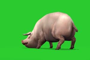 猪  飞猪 骑猪特效 绿屏动物 特效视频 抠像视频手机特效图片