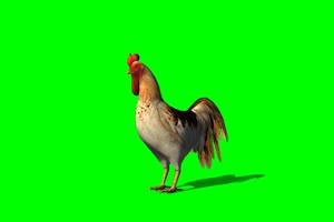 公鸡绿屏素材 绿幕抠像素绿布和绿幕视频抠像素材