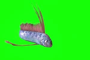 鳗鲡鱼 电鳗 鱼儿 绿幕素材 抠像视频 后期特效素手机特效图片