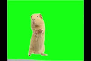 兔子 荷兰猪 仓鼠 Rabbit 绿屏抠像素材 巧影AE特效手机特效图片