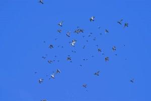 鸽子飞鸟绿幕视频素材 动物绿幕 剪映特效素材手机特效图片
