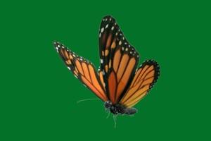 蝴蝶 7 绿屏抠像 巧影AE 特效素材 电影精灵[Texi