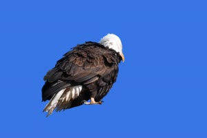 老鹰绿幕视频素材 动物绿幕 剪映特效素材 特效手机特效图片