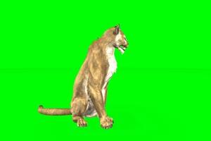 母老虎 绿屏动物 特效视频 抠像视频 巧影ae素材手机特效图片