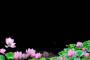 荷花荷叶546 莲花 抠像素材