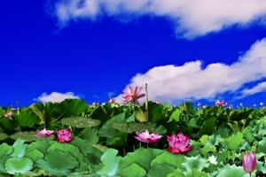 荷花 天空 巧影背景素材绿布和绿幕视频抠像素材