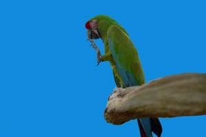 4K 鹦鹉 飞鸟绿幕视频 真实鸟类绿屏素材手机特效图片
