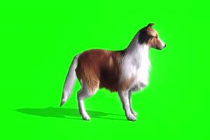 4K 狗 犬侧面 绿幕素材 绿幕视频 动物绿幕手机特效图片