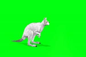 白色的袋鼠 动物绿幕视频素材下载 @特效牛绿幕手机特效图片