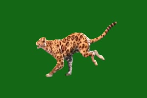 老虎 奔跑