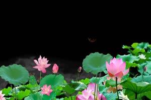 荷花荷叶5 莲花 抠像素材
