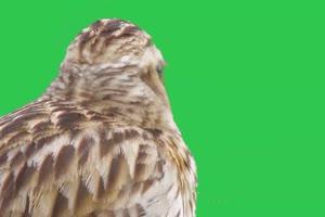 4K 唱歌鸟4 飞鸟绿幕视频 真实鸟类绿屏素材手机特效图片
