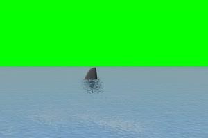 鲨鱼 游来游去 3绿屏素材