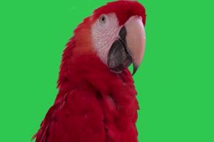 4K 鹦鹉4 飞鸟绿幕视频 真实鸟类绿屏素材手机特效图片