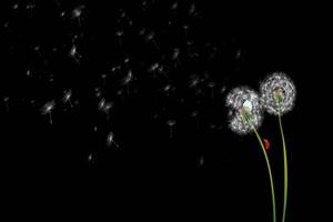 蒲公英种子飘 树叶花 黑幕背景抠像视频 广场舞手机特效图片