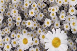 白菊花 花朵 飘落 绿屏抠像素材手机特效图片