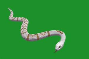 白色眼镜蛇 绿幕抠像 视频素材 巧影AE 剪映特效手机特效图片