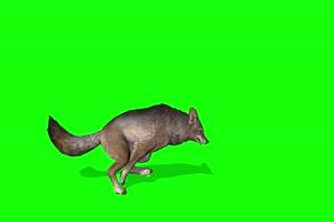 狐狸侧面 4K素材 绿幕 抠像视频素材 绿幕视频下手机特效图片