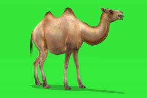 奔跑的骆驼 绿屏动物 特效视频 抠像视频 巧影手机特效图片