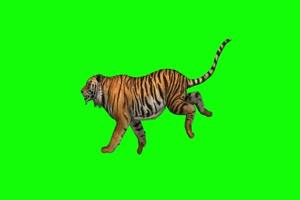 老虎 走路 奔跑 9 动物 绿屏抠像 特效素材