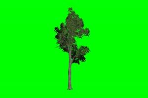 树苗 树苗 3 绿幕视频免费下载 1手机特效图片