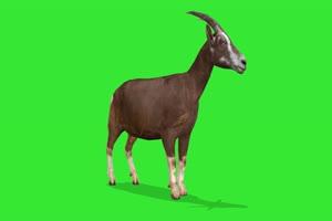 山羊 绿屏动物 特效视频 抠像视频 巧影ae素材手机特效图片