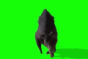 野猪 特效牛 绿幕素材 抠像视频 后期特效素材手机特效图片