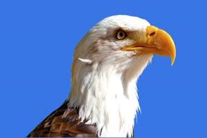 老鹰2绿幕视频素材 动物绿幕 剪映特效素材 特效手机特效图片