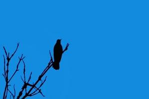 4K 唱歌鸟 飞鸟绿幕视频 真实鸟类绿屏素材手机特效图片