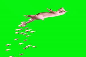 猪 飞猪 动物 绿屏抠像 特绿布和绿幕视频抠像素材